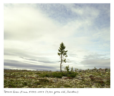 Rachel Sussman, 'Spruce Gran Picea'
