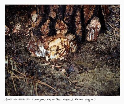 Rachel Sussman, 'Armillaria 1106-2232 (2,400 years old; Malheur National Forest, Oregon)', 2006