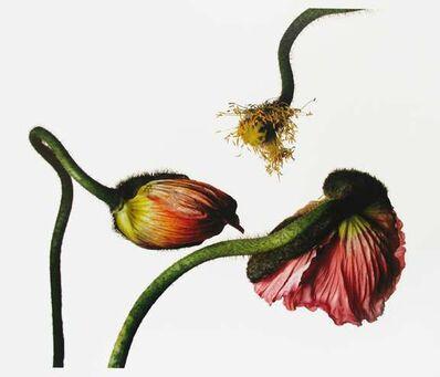 Irving Penn, 'Iceland Poppy/Papaver Nudicaule (G), New York', 2006