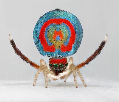 Maria Fernanda Cardoso, 'Spiders of Paradise: Maratus splendens from Actual Size Series Ed. 5/5 [Edition of 5+2 AP]', 2019
