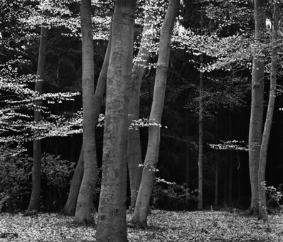 Brett Weston, 'Beech Forest, Netherlands', 1971-printed circa 1976