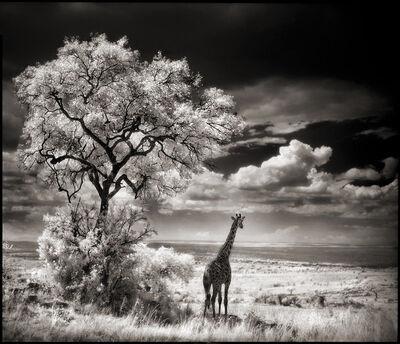 Nick Brandt, 'Giraffe Looking Over Plains ', 2002