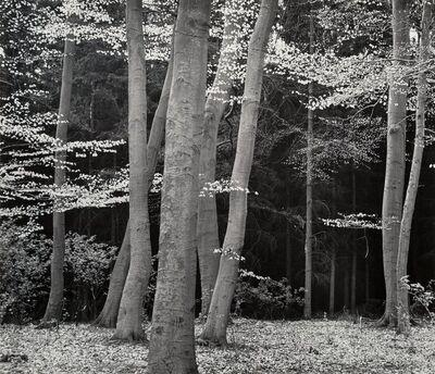 Brett Weston, 'Beech Forest, Holland', 1971