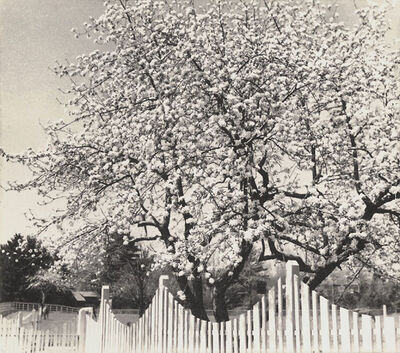 Dorothy Norman, 'Apple Blossoms, Woodstock, NY', 1936/1936