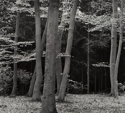 Brett Weston, 'Beech Forest, Holland', 1971