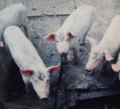 Glenn Goldstein, '3 Pigs in P.R.', 2004