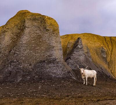 Alan Montgomery, 'White Cow', 2018