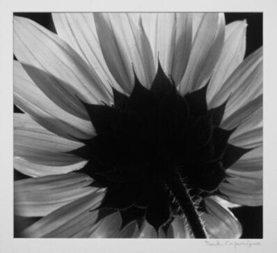 Paul Caponigro, 'Peacock Sunflower'