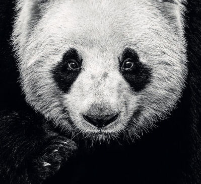 David Yarrow, 'Kung Fu Panda ', 2016