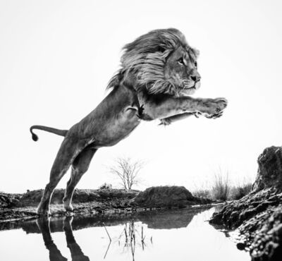 David Yarrow, 'Lion King', 2014