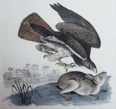 John James Audubon, 'Common Buzzard', 1840-1844