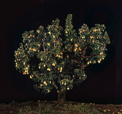 Tal Shochat, 'Pear Tree', 2011