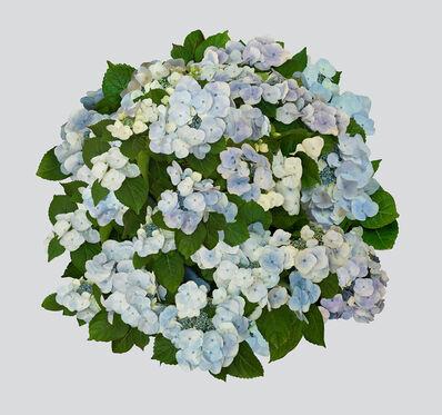 Nancy Richardson, 'Hydrangea', 2015-2017