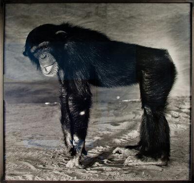 Balthasar Burkhard, 'Le chimpanzé', 1996