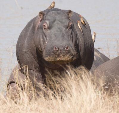 E.A. Kahane, 'Hippo', 2017