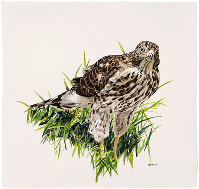 Carol Dawson, 'Young Cooper's Hawk in Grass', 2018