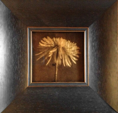 Kate Breakey, 'Spider Chrysanthemum '