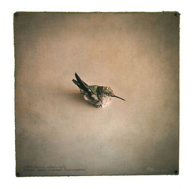 Kate Breakey, 'Female black-chinned Hummingbird, from 'Collection' series', 2019