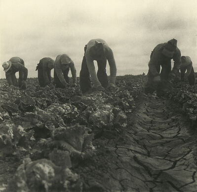 Dorothea Lange, 'Filipinos Cutting Lettuce, Salinas, California', 1935