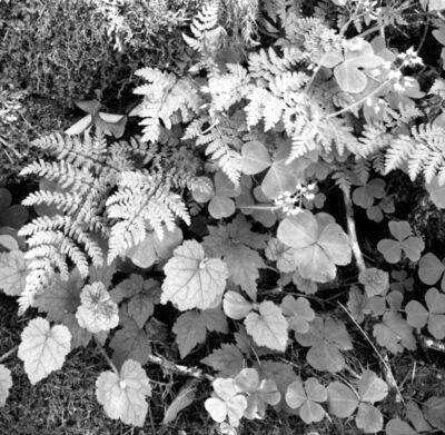 Jerome Hawkins, 'Ferns II', 2005