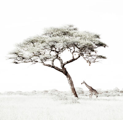 Caroline Gibello, 'Lone Giraffe under Tree', 2014