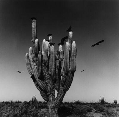 Graciela Iturbide, 'Sahuaro, Desierto de Sonora, Mexico', 1979