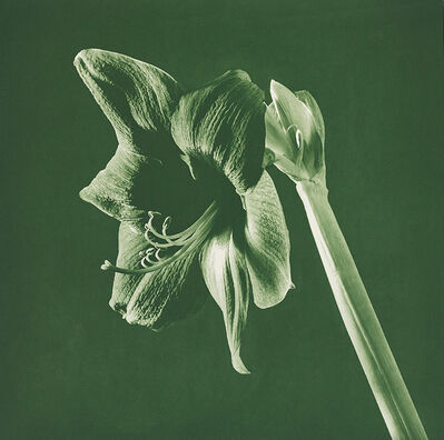 Robert Mapplethorpe, 'Flowers (Green Amarylis)', 1987