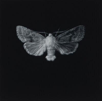 Sarah Gillespie, 'Common Quaker Moth', 2019