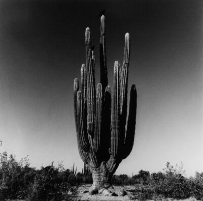 Graciela Iturbide, ' Sahuaro, Desierto de Sonora, Mexico, 1979', 1979