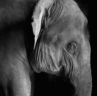 Derry Moore, 'A young elephant', 1993