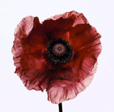 Irving Penn, 'Poppy 'Burgundy'', New York; 1968