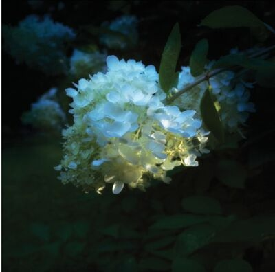 Mahlon Craft, 'Hydrangea in Shadow', 2015