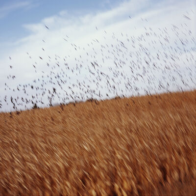 John Huggins, 'Cornfield and Birds, Iowa', 2014