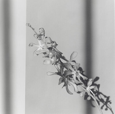Robert Mapplethorpe, 'Orchids 398', 1980