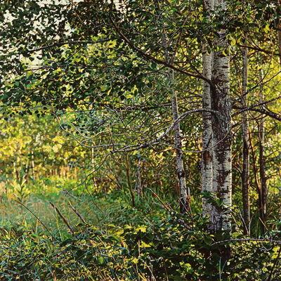 Jeffrey Vaughn, 'Thicket No. 40: Birches', 2014