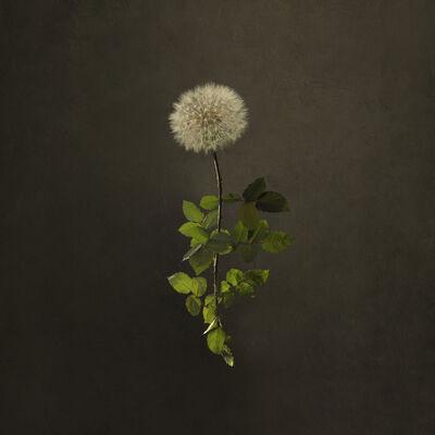 Marie Cecile Thijs, 'Dandelion Rose', 2018