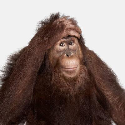 Randal Ford, 'Orangutan No 1', 2018