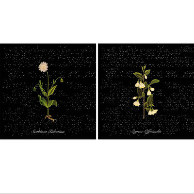 Ottonella Mocellin - Nicola Pellegrini, 'Flowers of Palestine (Scabiosa Palestina); Flowers of Palestine (Styrax Officinalis)', 2009