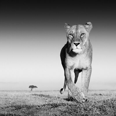 David Yarrow, 'The Prize, Amboseli, Kenya', 2013