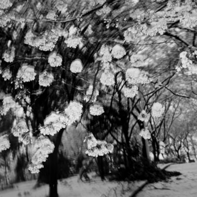 Toshio Enomoto, '032 - Cherry blossoms and snow in Asukayama Park', 1988