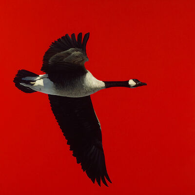 James Lahey, 'Canada Goose (from Made in Canada) 180914-06', 2018