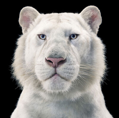 Tim Flach, 'Snow White Tiger', ca. 2010