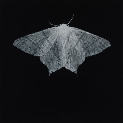 Sarah Gillespie, 'Swallow-tailed Moth', 2019