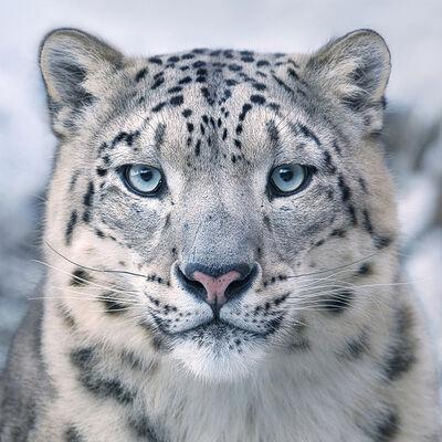 Tim Flach, 'Snow Leopard', ca. 2016