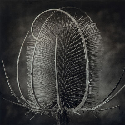 Cy DeCosse, 'Provence Thistle'