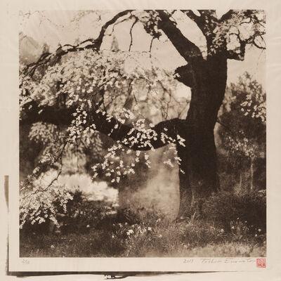 Toshio Enomoto, 'Black Ship Cherry Tree in Achi-mura, Nagano', 2015