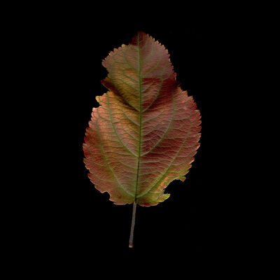 Meridel Rubenstein, 'Crabapple Iridescent Leaf', 2010
