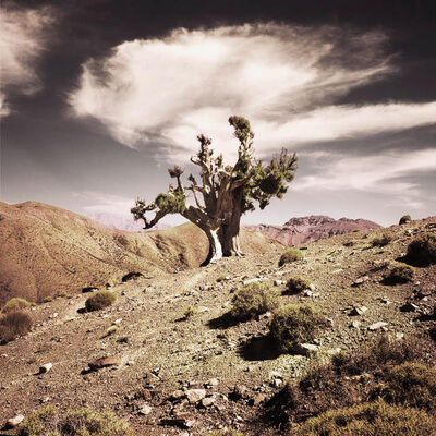 Bernhard Quade, 'Morocco Juniper Tree Atlas Mountains', 2011