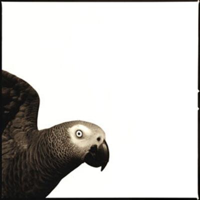 Nine Francois, 'Parrot', 2013