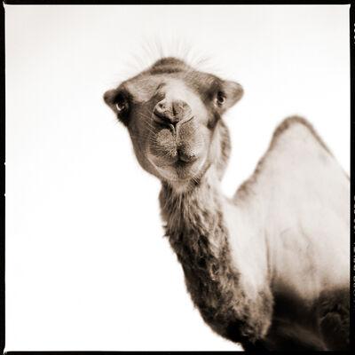 Nine Francois, 'Camel II'
